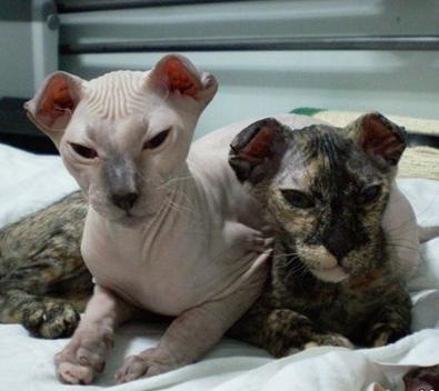 можно ли скрещивать кошек брата и сестру британцев ее, получаем увеличение